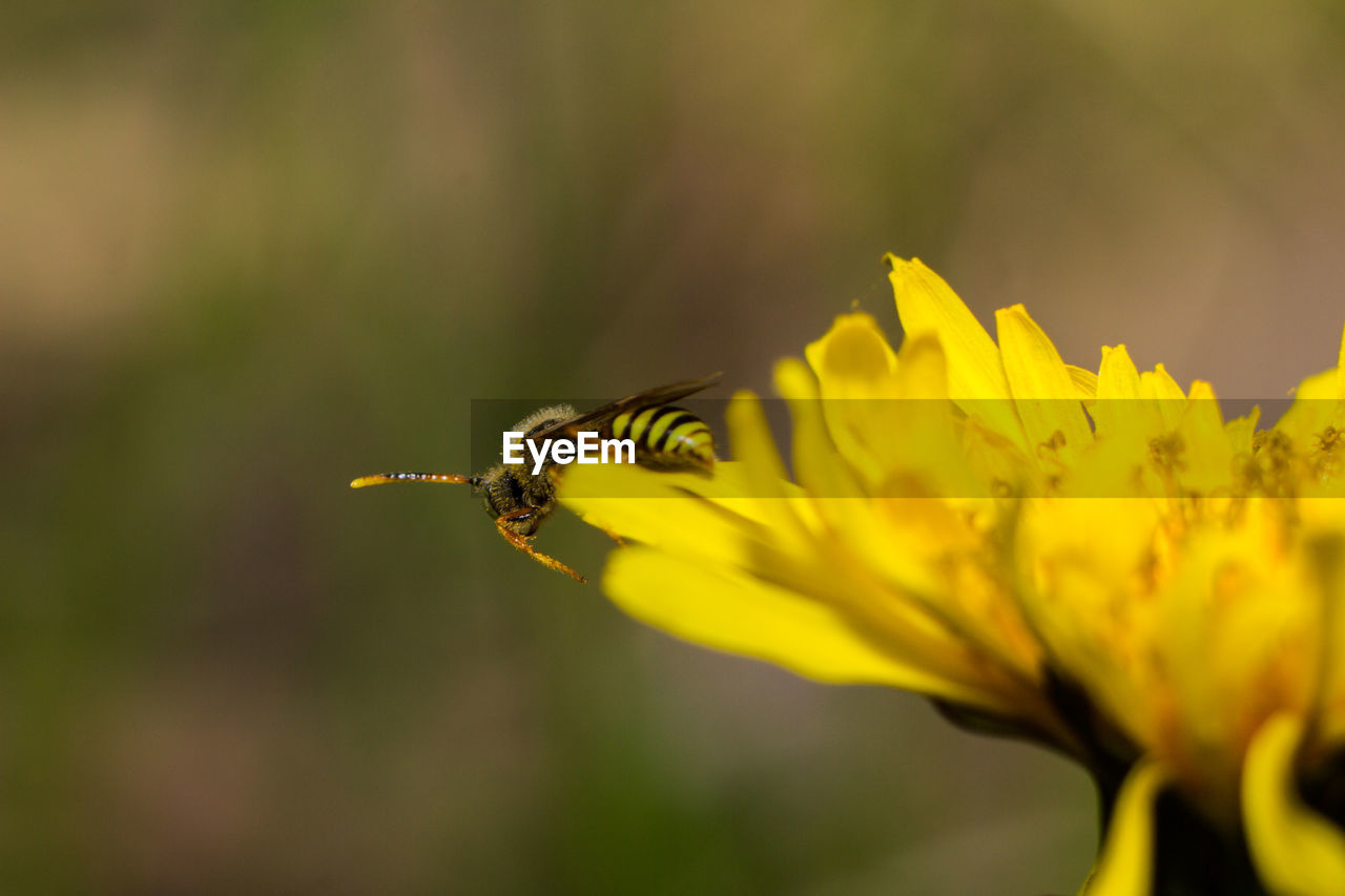 flower, one animal, fragility, insect, nature, animal themes, petal, animals in the wild, yellow, beauty in nature, plant, growth, animal wildlife, freshness, outdoors, bee, day, no people, selective focus, flower head, close-up, pollination, buzzing