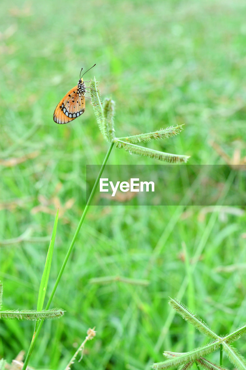 animal themes, animal, animal wildlife, invertebrate, animals in the wild, insect, one animal, plant, green color, close-up, nature, beauty in nature, focus on foreground, day, growth, no people, grass, animal wing, selective focus, outdoors, butterfly - insect, butterfly