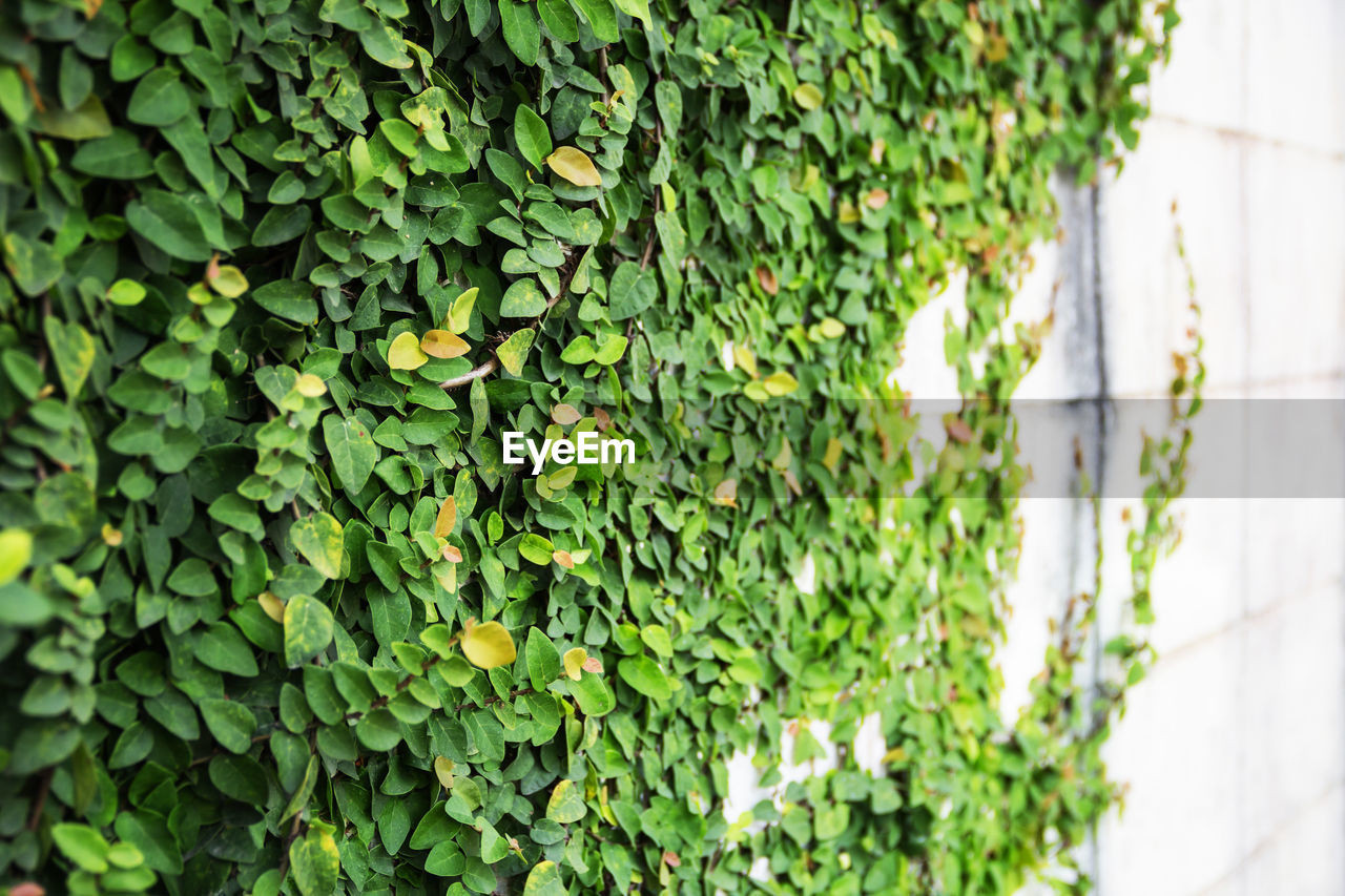 green color, growth, plant, leaf, plant part, beauty in nature, nature, day, no people, close-up, ivy, focus on foreground, outdoors, selective focus, freshness, wall - building feature, creeper plant, tranquility, food, low angle view