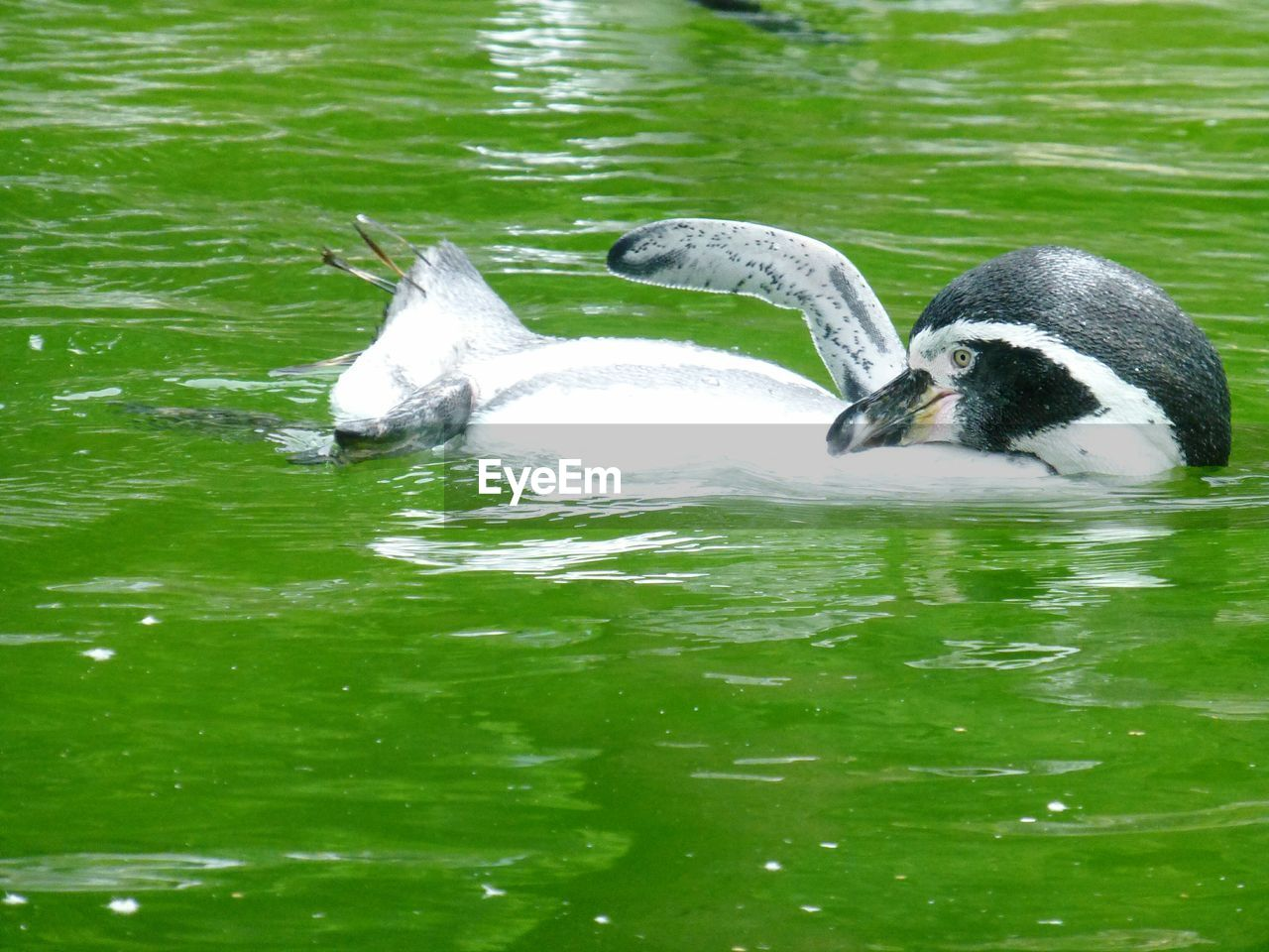 animal themes, animals in the wild, two animals, water, animal wildlife, lake, bird, waterfront, day, nature, swimming, no people, green color, young animal, outdoors, swan, mammal