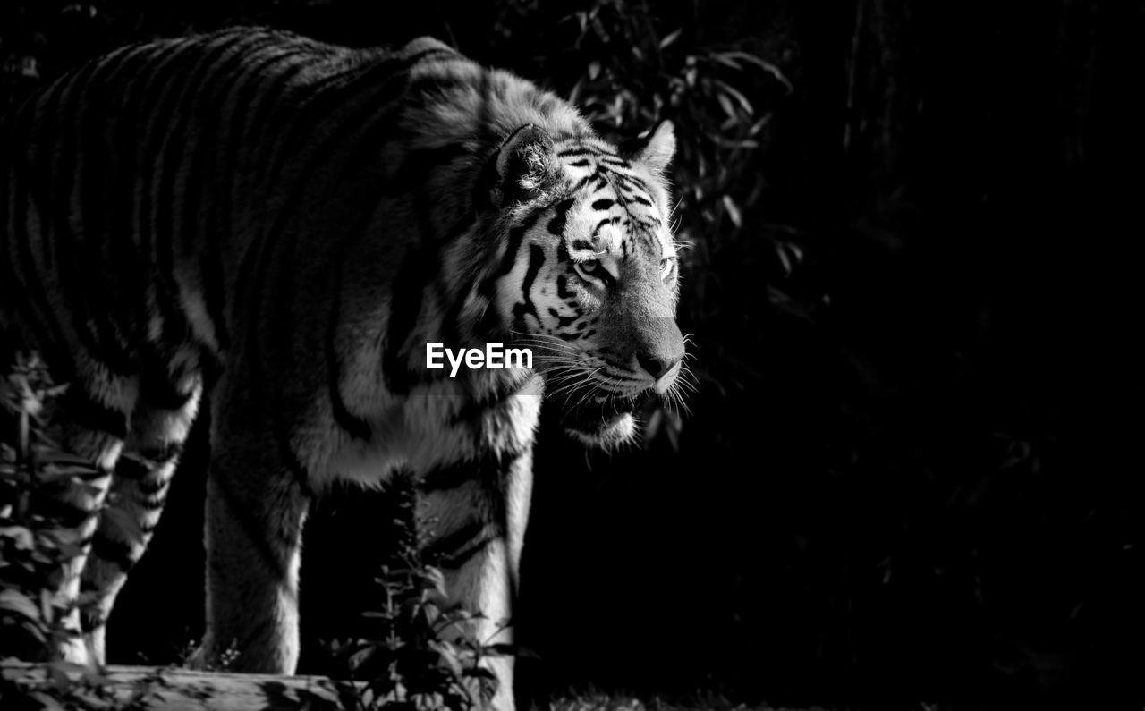 animal, mammal, animal themes, one animal, feline, cat, tiger, big cat, animal wildlife, no people, carnivora, pets, vertebrate, domestic animals, looking, animals in the wild, standing, land, nature, animal head, whisker