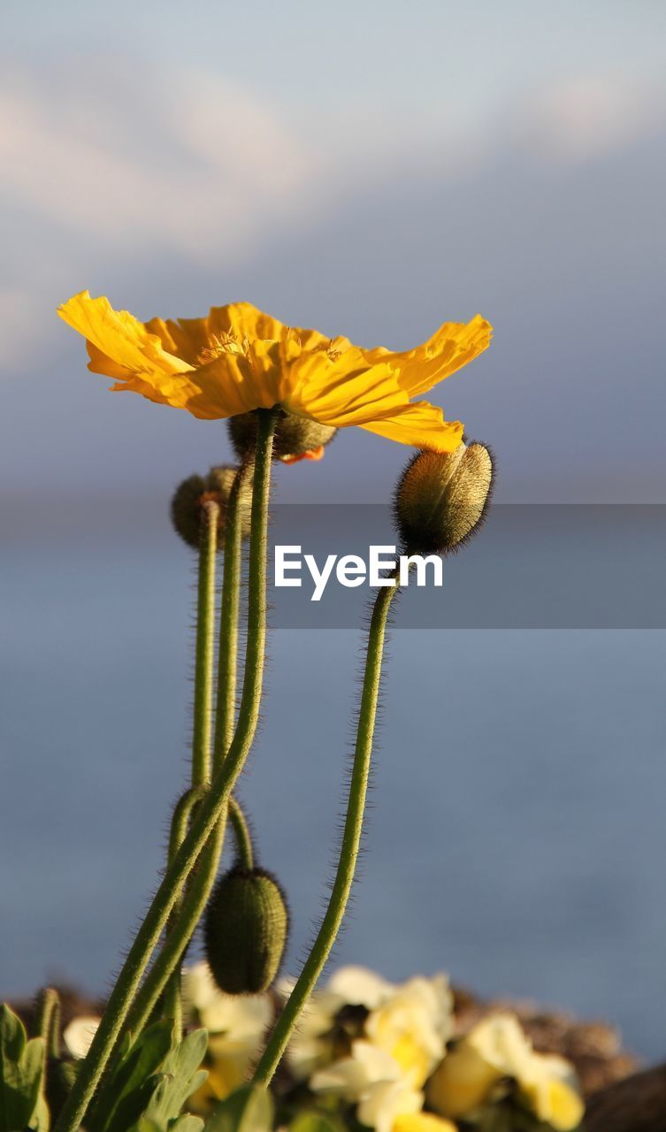 flower, plant, flowering plant, beauty in nature, vulnerability, growth, fragility, yellow, freshness, close-up, nature, flower head, sky, inflorescence, petal, focus on foreground, day, plant stem, no people, outdoors, pollen, sepal
