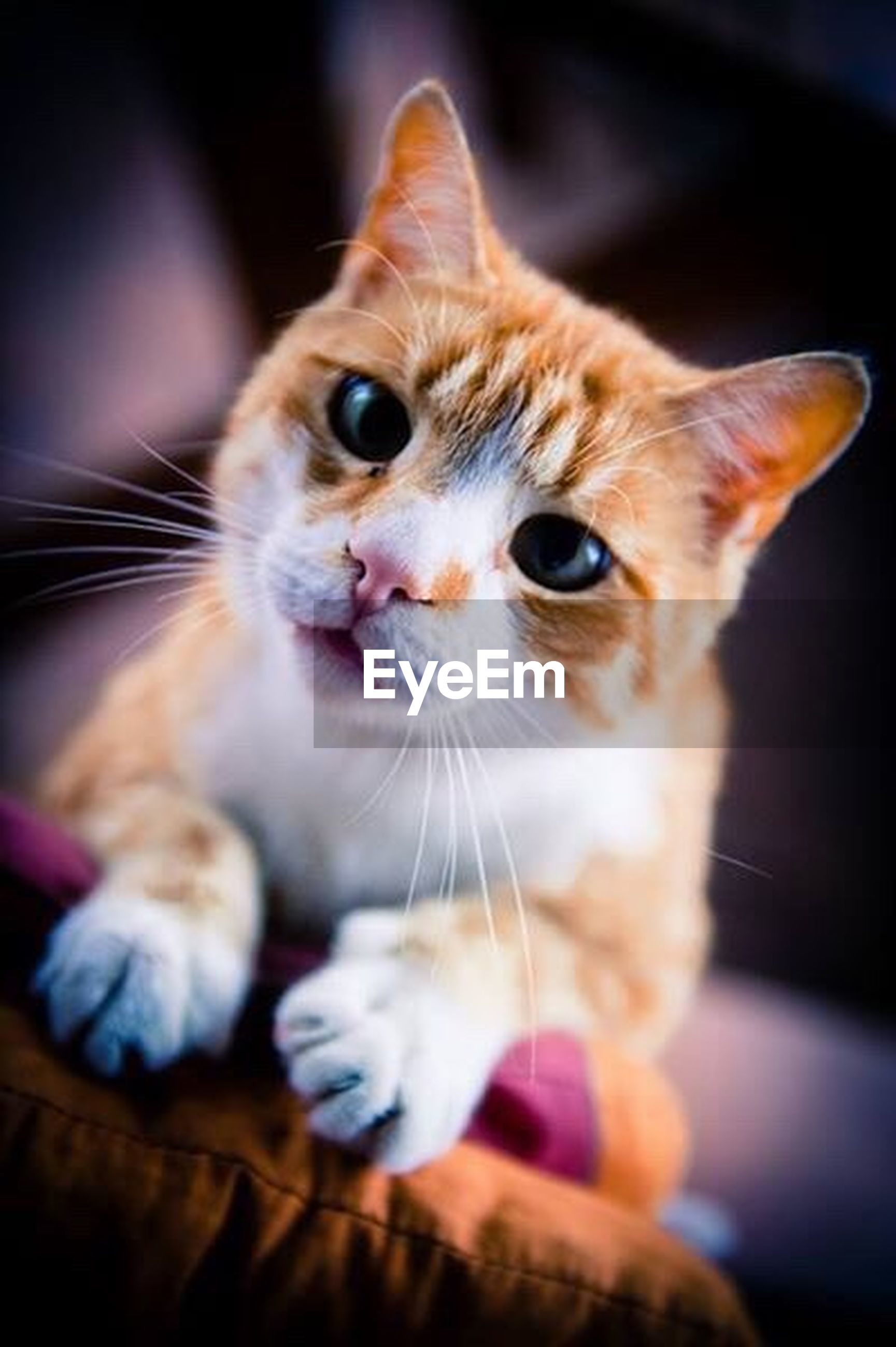 pets, domestic animals, animal themes, indoors, domestic cat, one animal, mammal, cat, feline, whisker, portrait, looking at camera, home interior, focus on foreground, close-up, relaxation, selective focus, cute, young animal