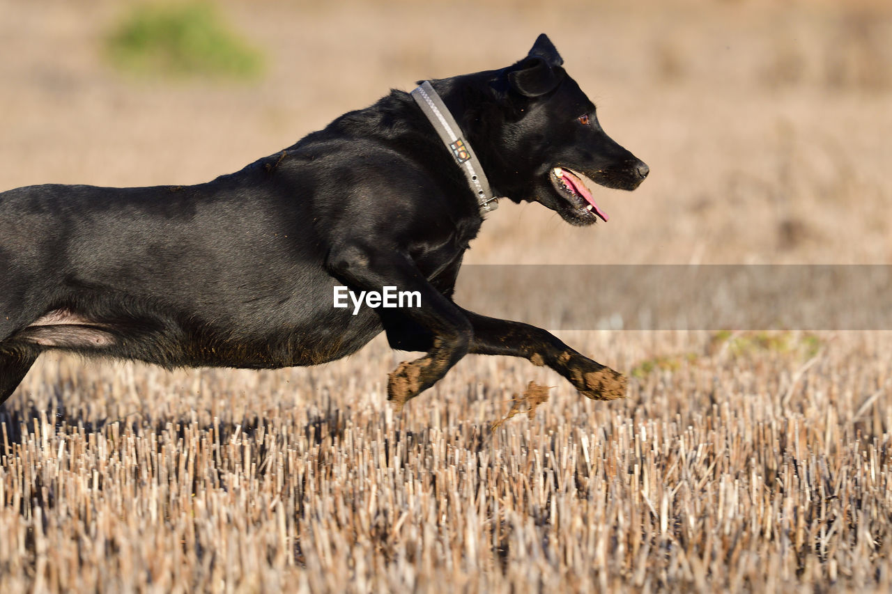 canine, dog, one animal, pets, domestic, mammal, domestic animals, animal, animal themes, land, vertebrate, field, side view, black color, nature, running, day, plant, looking away, grass, no people, mouth open, profile view, animal head