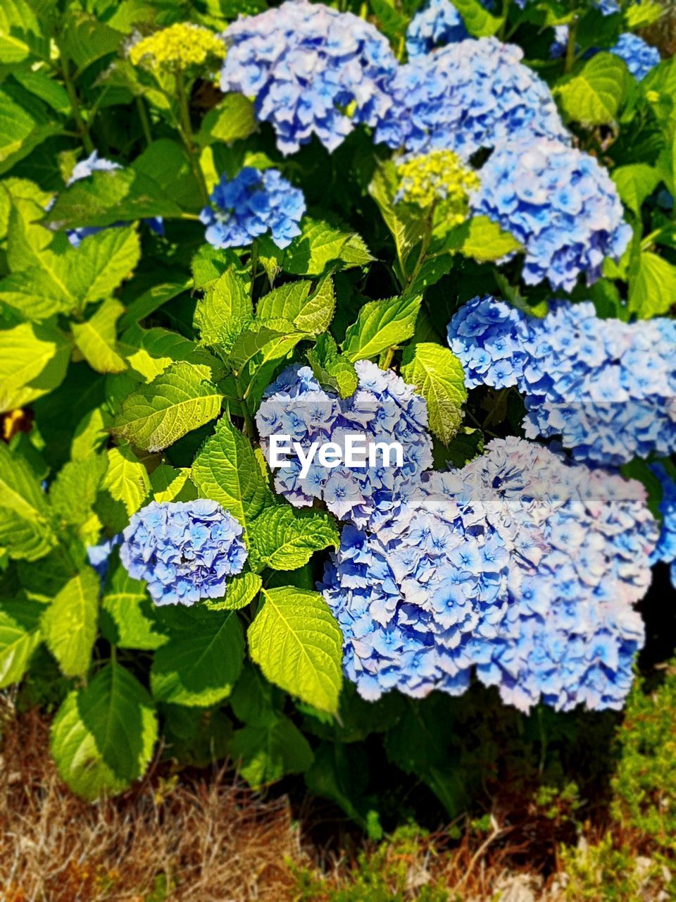 flowering plant, flower, plant part, growth, blue, plant, nature, leaf, day, beauty in nature, vulnerability, fragility, freshness, no people, high angle view, close-up, green color, hydrangea, purple, outdoors, flower head, bunch of flowers