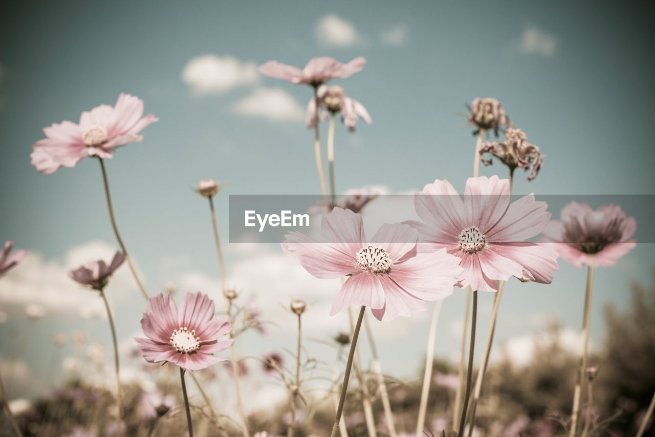 Close-Up Of Pink Cosmos Flowers Blooming Outdoors