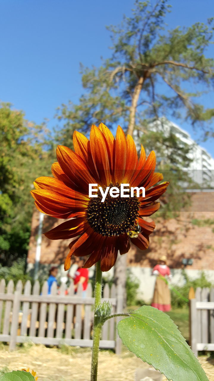 flower, growth, nature, beauty in nature, fragility, freshness, petal, day, plant, flower head, outdoors, pollen, focus on foreground, blooming, no people, close-up, clear sky, tree, eastern purple coneflower, sky
