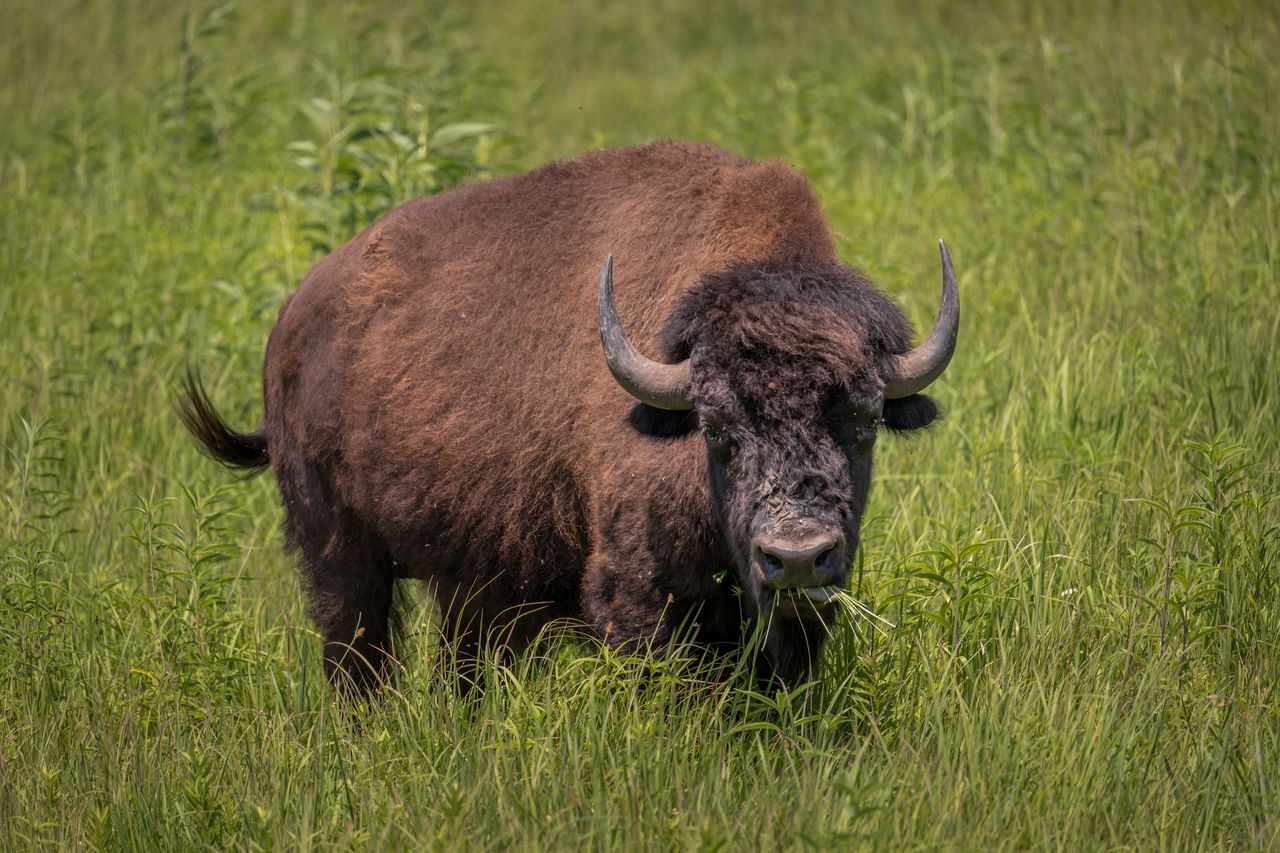 grass, animal themes, animal, plant, mammal, one animal, animal wildlife, animals in the wild, domestic animals, no people, vertebrate, land, field, nature, day, horned, livestock, green color, plain, herbivorous, outdoors
