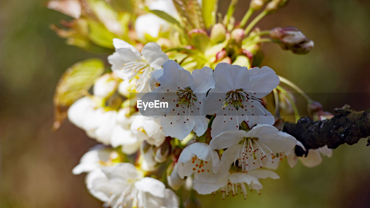 plant, flowering plant, flower, growth, fragility, vulnerability, freshness, beauty in nature, petal, close-up, blossom, tree, pollen, springtime, flower head, inflorescence, white color, day, focus on foreground, nature, no people, cherry blossom, outdoors, bunch of flowers, cherry tree, spring
