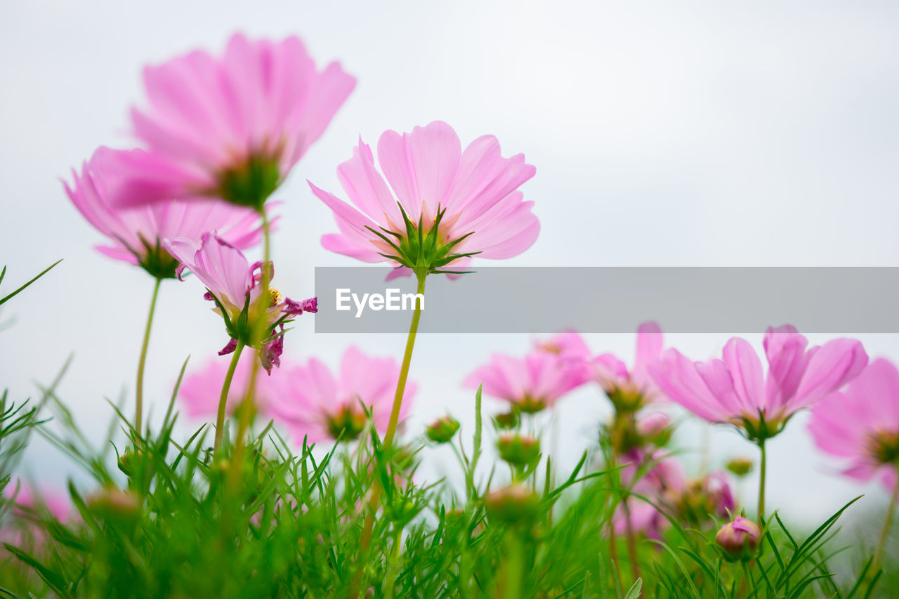 flowering plant, flower, plant, freshness, fragility, vulnerability, beauty in nature, petal, growth, pink color, close-up, selective focus, inflorescence, flower head, nature, cosmos flower, no people, day, field, land