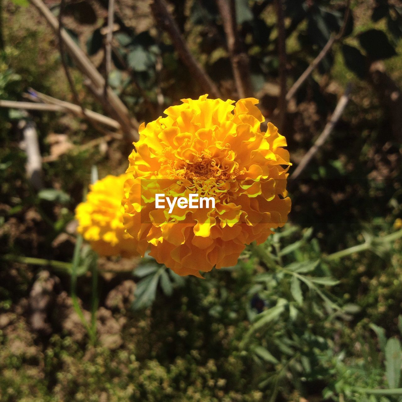 flower, yellow, growth, nature, fragility, petal, freshness, flower head, plant, beauty in nature, botany, outdoors, blooming, no people, marigold, day, close-up, focus on foreground