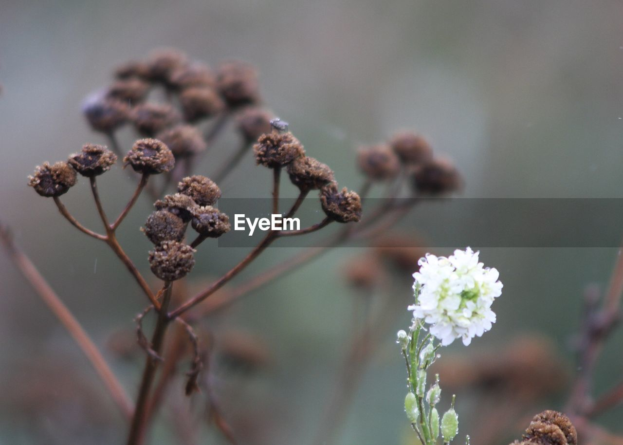 flower, flowering plant, plant, focus on foreground, growth, fragility, close-up, vulnerability, beauty in nature, freshness, day, no people, nature, selective focus, flower head, inflorescence, outdoors, petal, tranquility, bud, wilted plant, dried