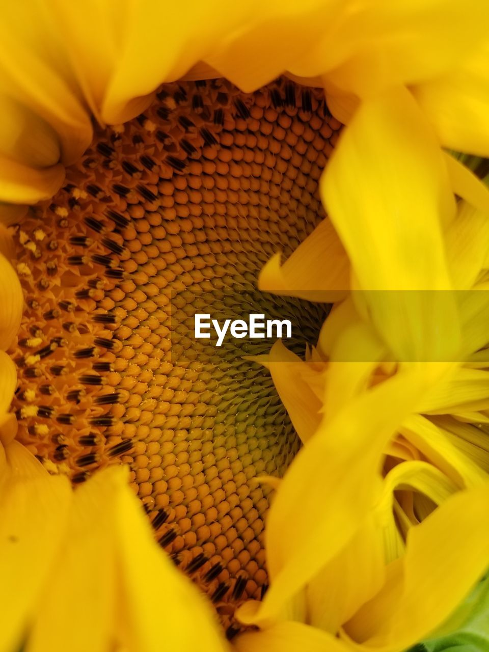 yellow, close-up, flowering plant, flower, beauty in nature, vulnerability, plant, flower head, fragility, petal, inflorescence, freshness, growth, no people, pollen, nature, selective focus, sunflower, animal wildlife