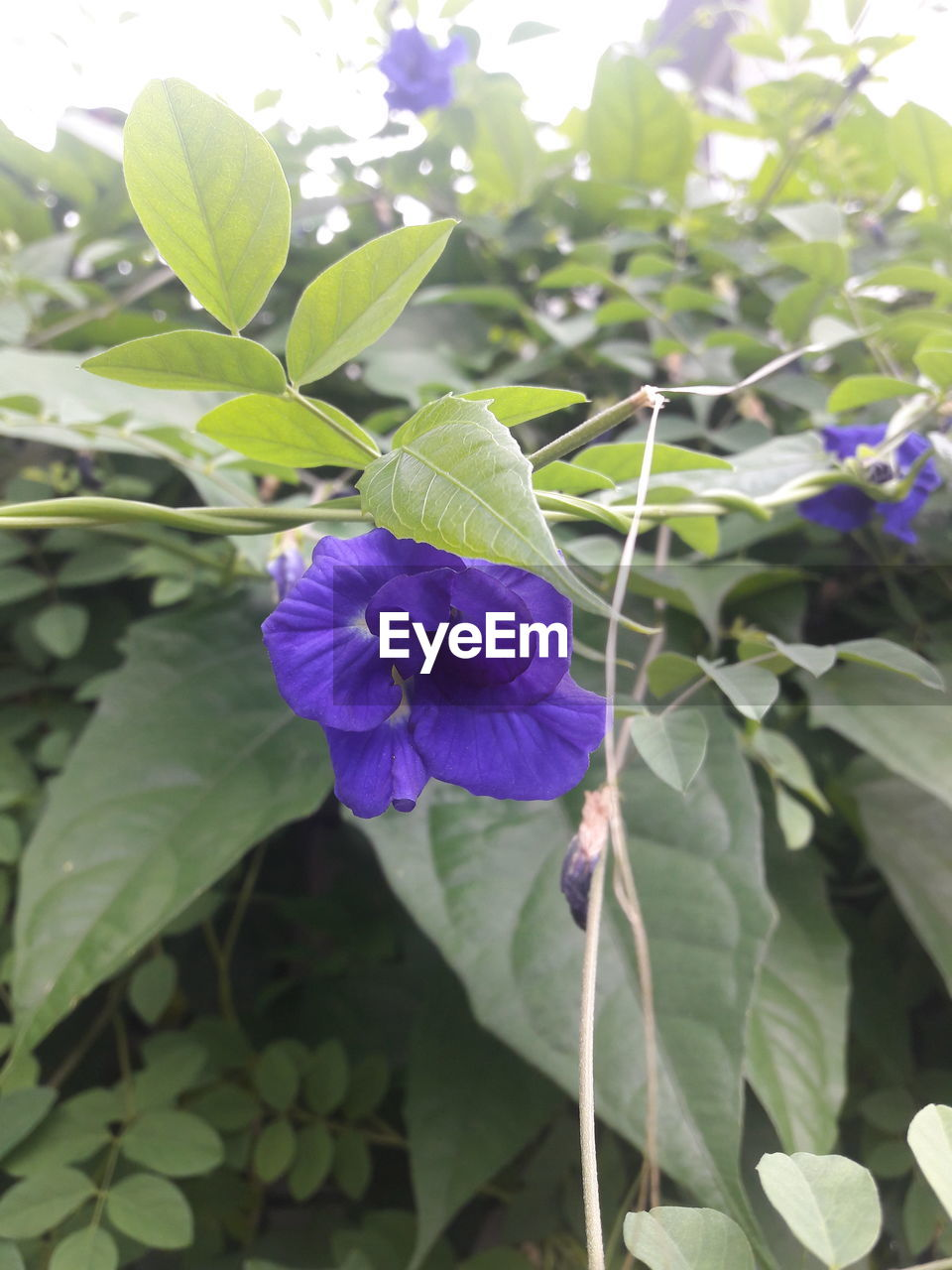 flower, growth, beauty in nature, petal, plant, leaf, nature, fragility, freshness, purple, green color, blooming, no people, flower head, day, outdoors, close-up, petunia, periwinkle