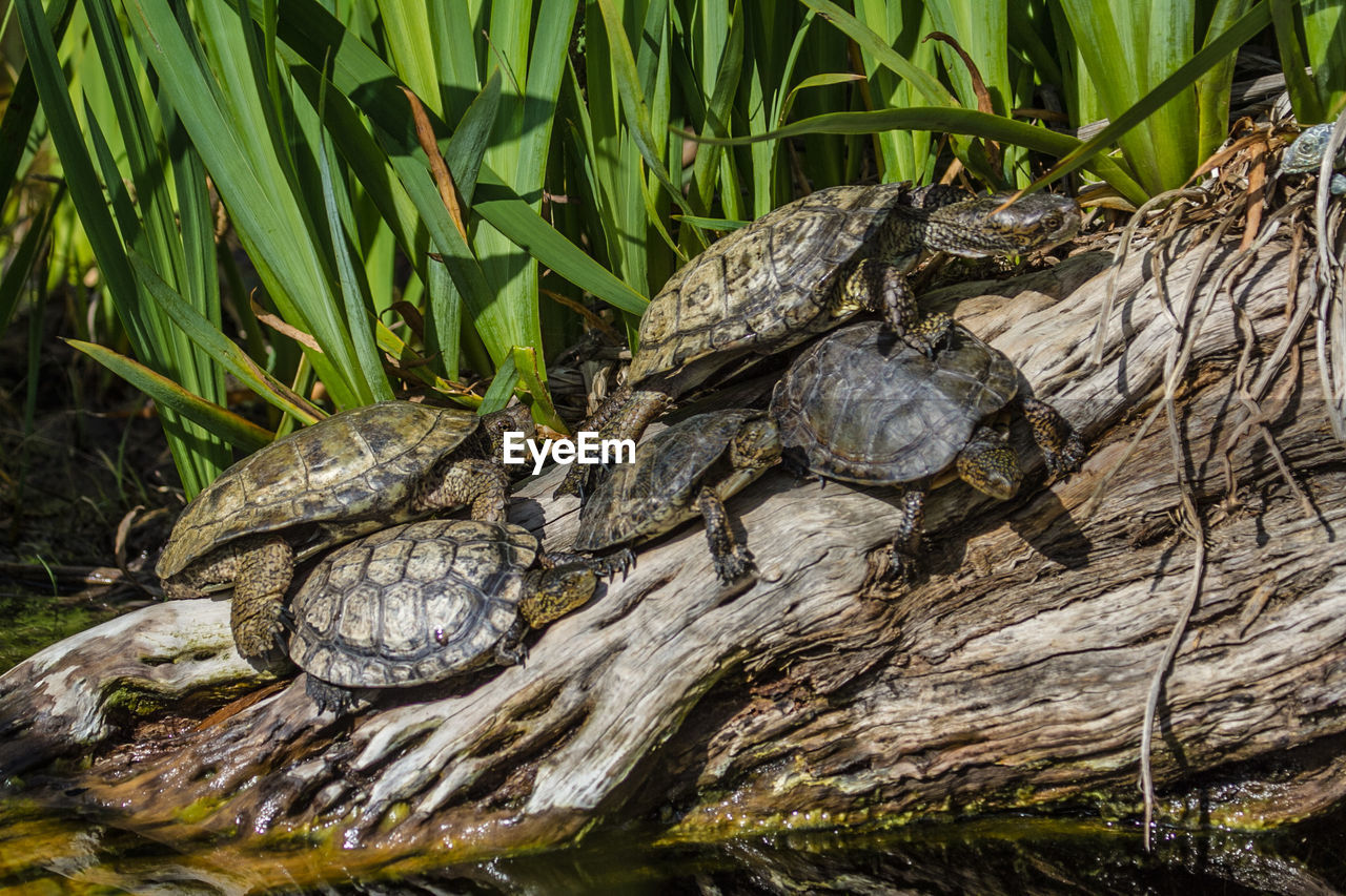 reptile, animal wildlife, animal, turtle, animal themes, animals in the wild, vertebrate, one animal, tortoise, animal shell, shell, lake, nature, no people, day, water, plant, tortoise shell, amphibian, outdoors, marine