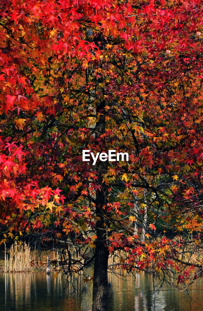 autumn, tree, leaf, change, nature, beauty in nature, scenics, maple tree, tranquility, water, outdoors, lake, tranquil scene, growth, branch, day, no people