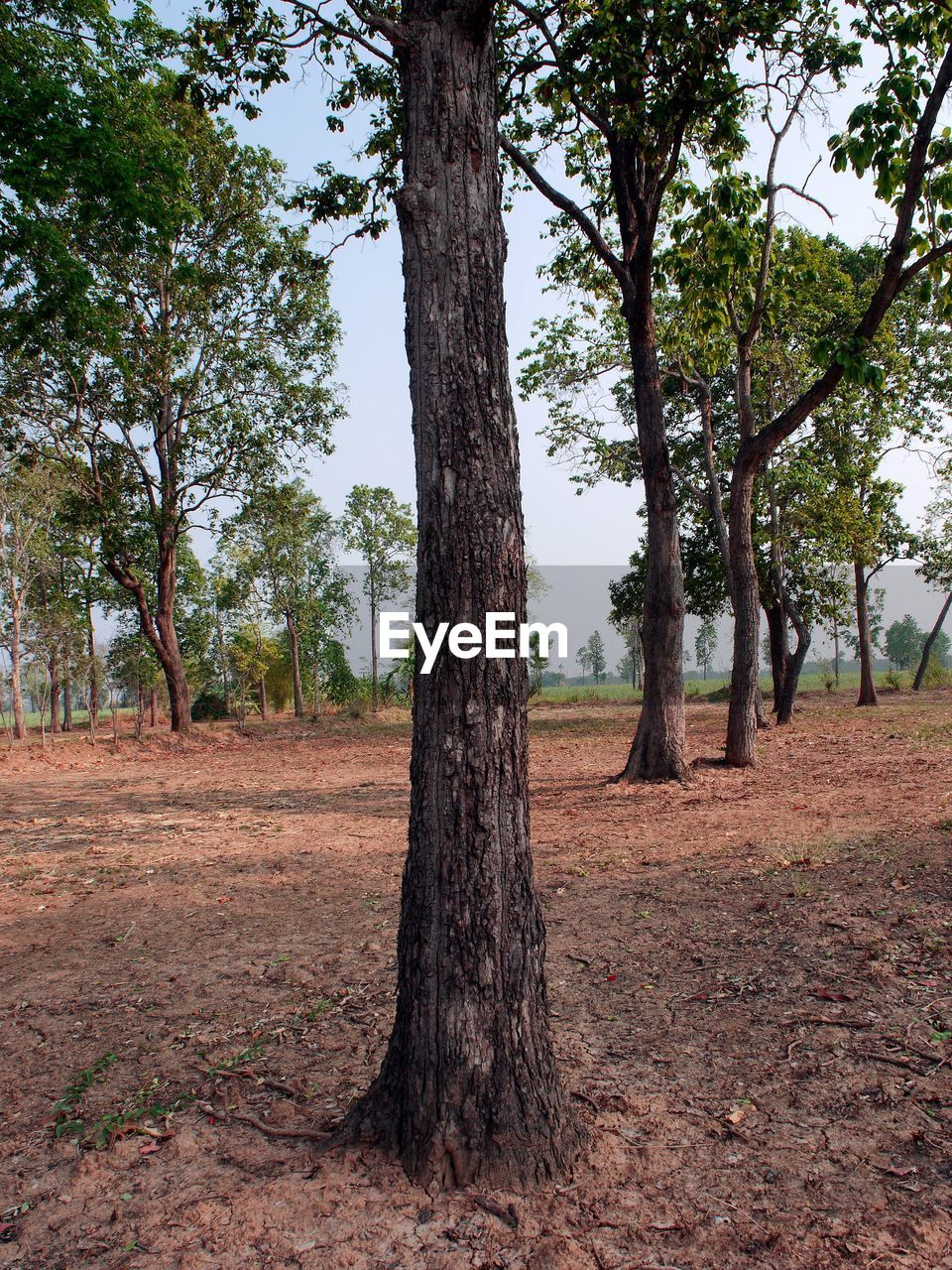 tree, plant, tree trunk, trunk, land, growth, no people, tranquility, nature, day, field, landscape, environment, beauty in nature, tranquil scene, forest, scenics - nature, outdoors, non-urban scene, sky