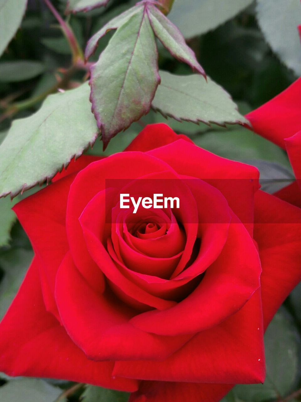 rose - flower, flower, petal, beauty in nature, nature, fragility, growth, red, flower head, plant, freshness, close-up, no people, leaf, outdoors, day, blooming