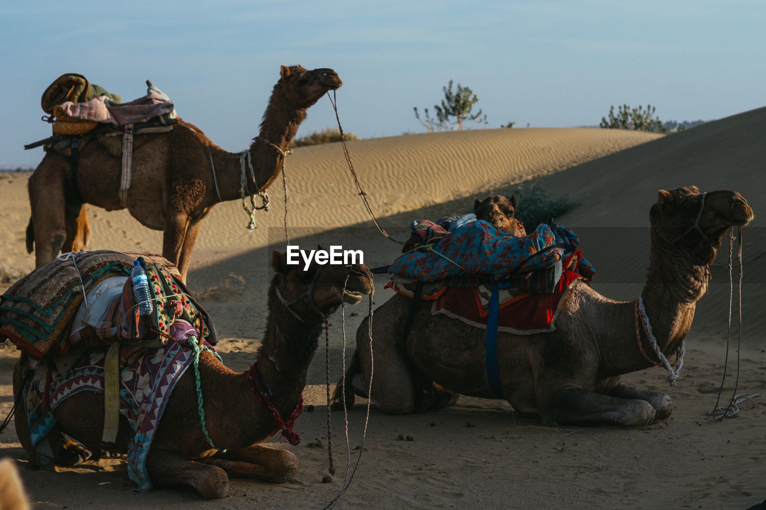 Camels in desert against sky