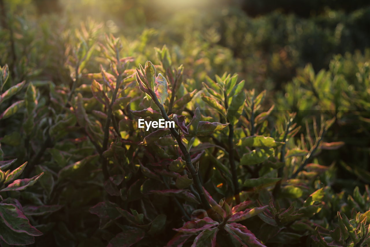 plant, growth, green color, beauty in nature, no people, close-up, leaf, plant part, nature, focus on foreground, day, tranquility, outdoors, selective focus, freshness, tree, land, field, food and drink, green, coniferous tree