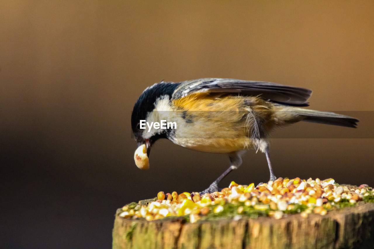 animal themes, animal, one animal, bird, animal wildlife, animals in the wild, vertebrate, close-up, focus on foreground, perching, food, wood - material, selective focus, no people, eating, food and drink, day, great tit, outdoors, nature
