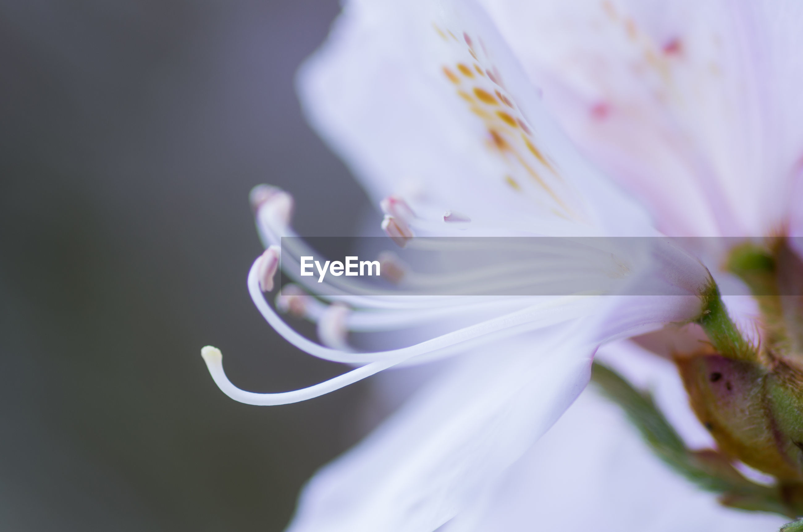 Close-up of day lily
