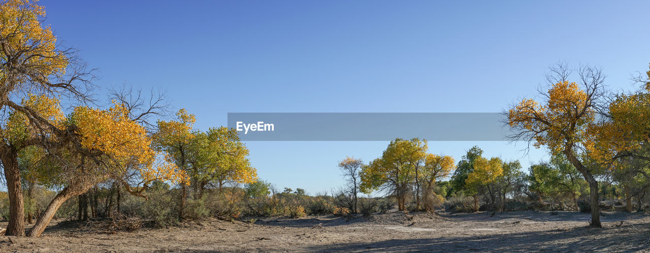 tree, sky, plant, clear sky, tranquility, autumn, beauty in nature, tranquil scene, nature, land, change, scenics - nature, landscape, day, no people, blue, copy space, growth, environment, non-urban scene, outdoors