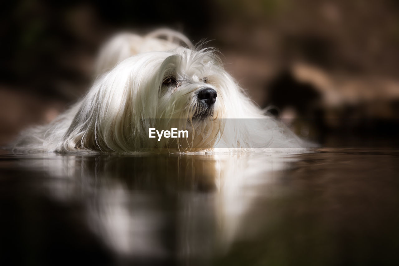 canine, dog, mammal, domestic animals, domestic, pets, animal themes, one animal, animal, selective focus, vertebrate, white color, no people, animal hair, relaxation, hair, portrait, close-up, day, flooring, animal head, surface level, animal eye