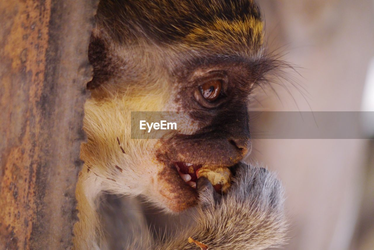 animal themes, animal, one animal, mammal, close-up, animals in the wild, animal wildlife, animal body part, focus on foreground, primate, monkey, vertebrate, no people, animal head, day, outdoors, eating, portrait, mouth, animal hair, mouth open, animal eye, animal mouth, animal nose