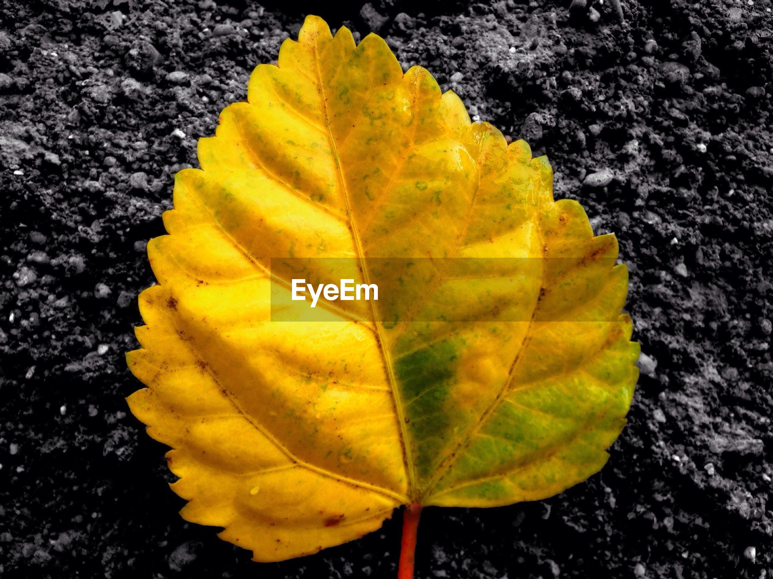 leaf, yellow, leaf vein, autumn, nature, high angle view, close-up, natural pattern, fragility, growth, change, beauty in nature, leaves, outdoors, day, no people, season, green color, textured, sunlight