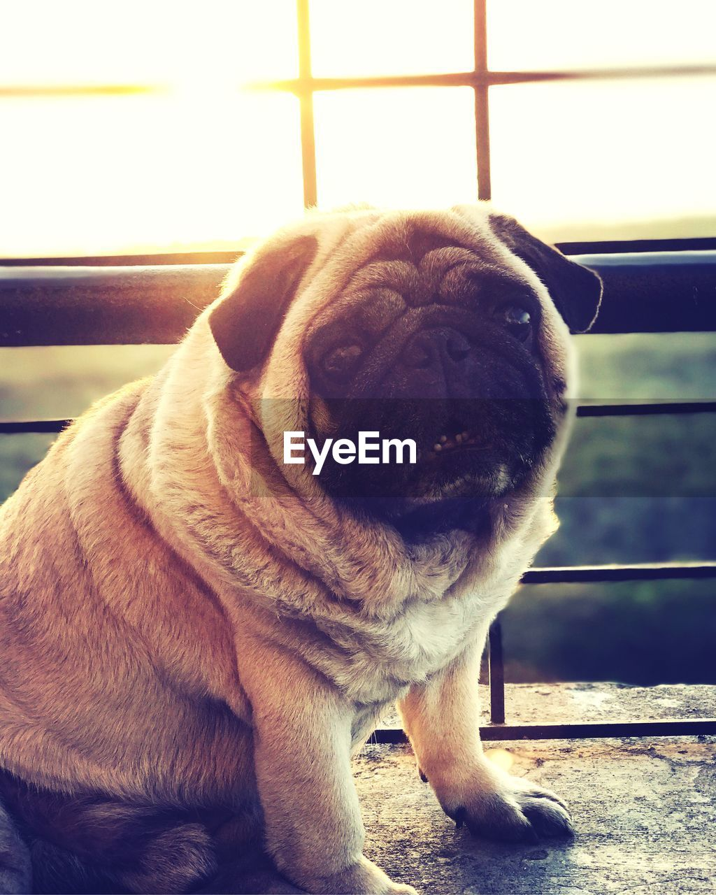 one animal, animal themes, animal, dog, mammal, canine, pets, domestic, domestic animals, vertebrate, close-up, no people, looking, indoors, day, lap dog, window, looking away, pug, animal head, snout