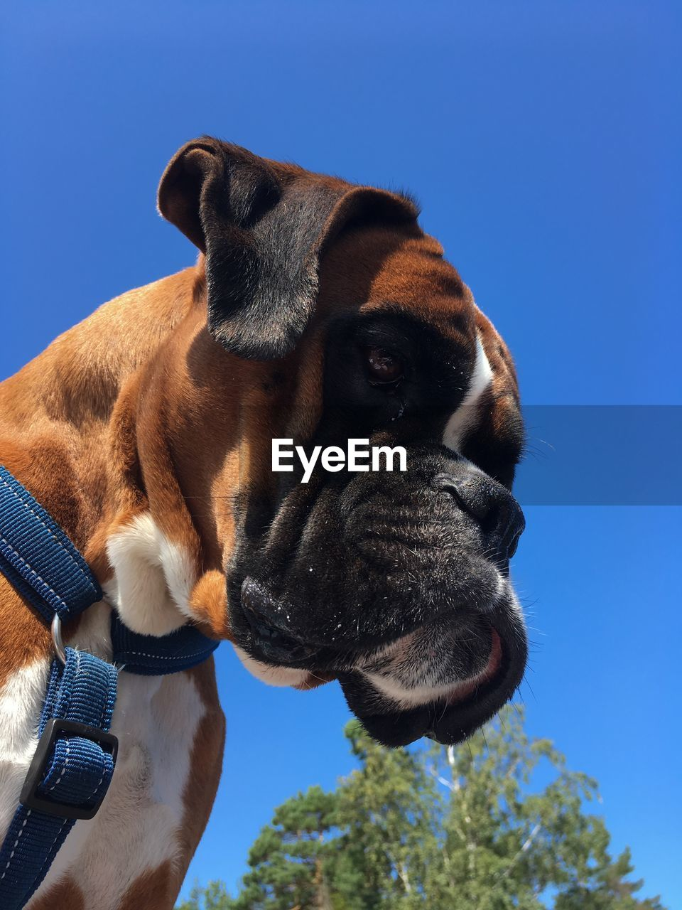 one animal, mammal, animal themes, domestic animals, pets, domestic, animal, dog, canine, vertebrate, sky, blue, animal body part, no people, low angle view, clear sky, boxer, nature, close-up, day, animal head