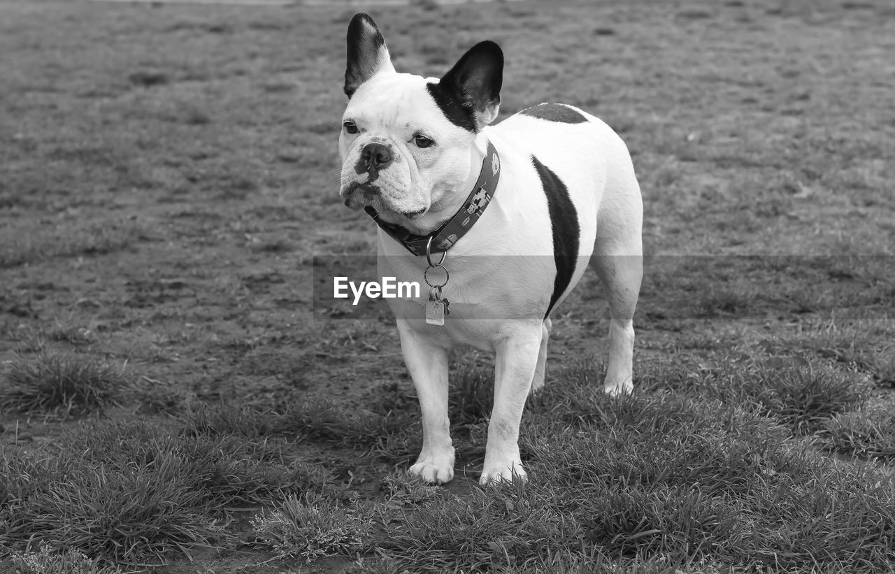 High Angle View Of French Bulldog Standing On Grassy Field
