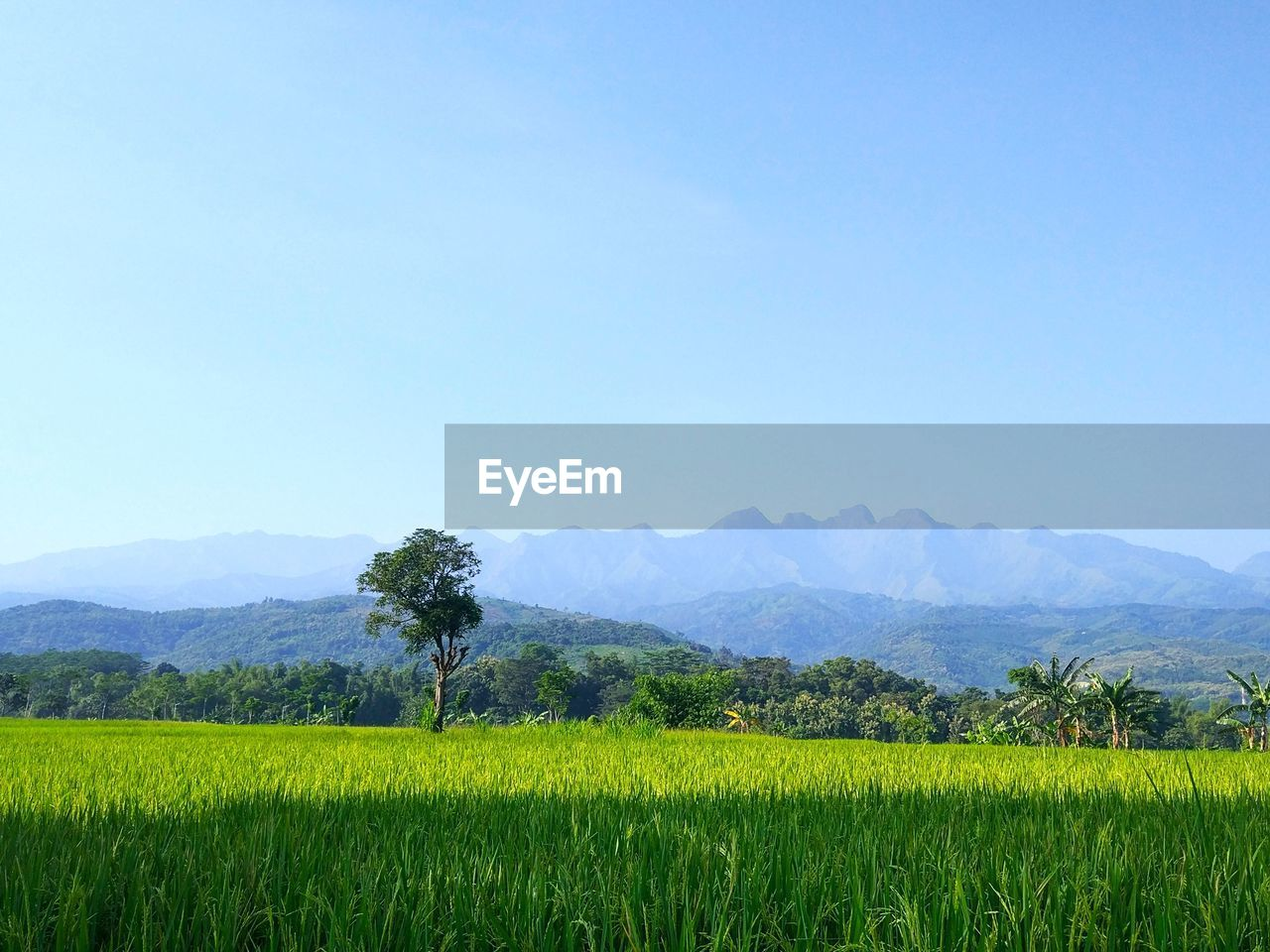 plant, beauty in nature, sky, landscape, field, scenics - nature, tranquil scene, land, growth, environment, tranquility, tree, clear sky, agriculture, rural scene, mountain, crop, nature, green color, copy space, farm, yellow, no people, mountain range, outdoors, plantation