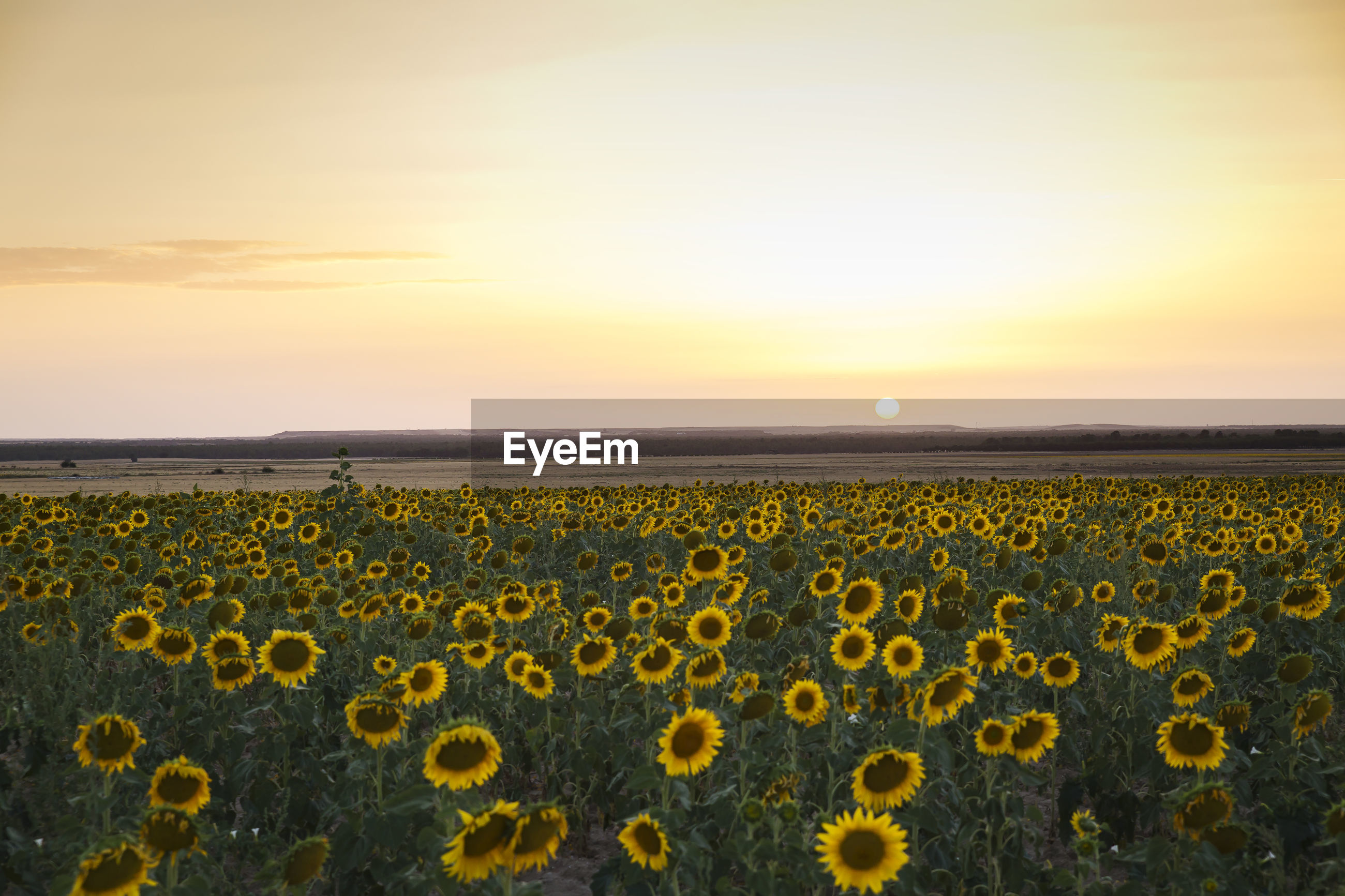 SCENIC VIEW OF SUNFLOWER FIELD AT SUNSET