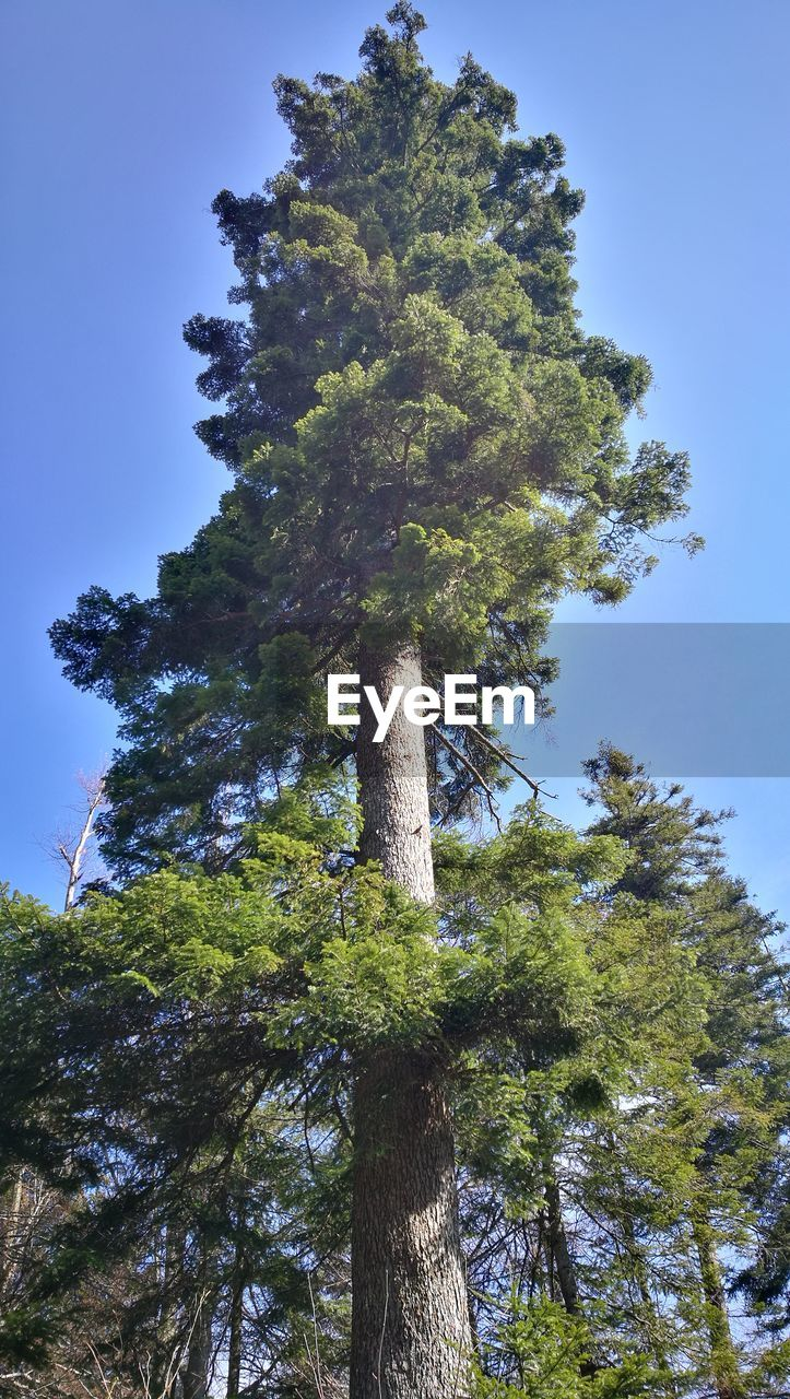 tree, plant, low angle view, sky, growth, nature, no people, day, green color, clear sky, tree trunk, tall - high, beauty in nature, trunk, outdoors, tranquility, land, tranquil scene, forest, blue