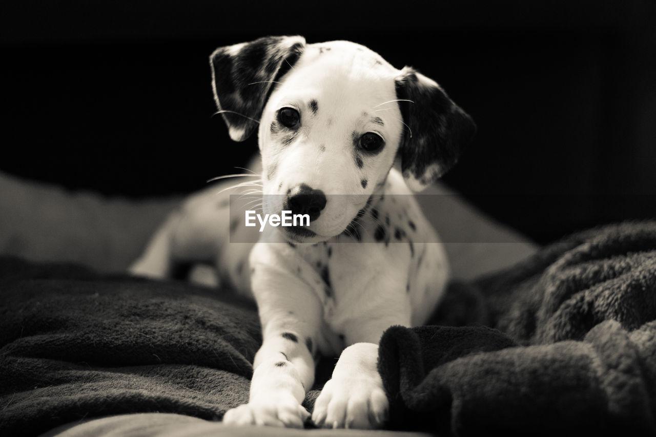 Close-Up Portrait Of Dalmatian Dog