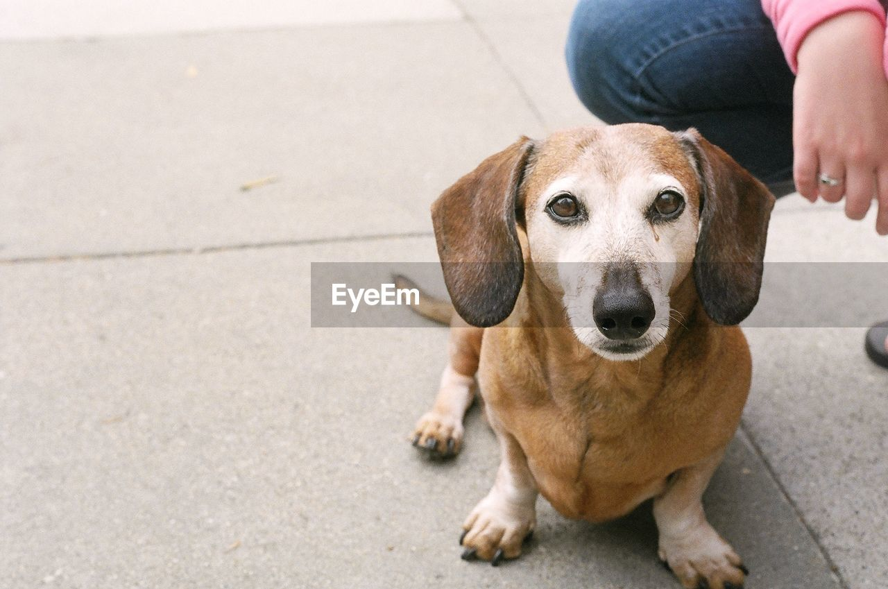 High angle view of dachshund and person on street