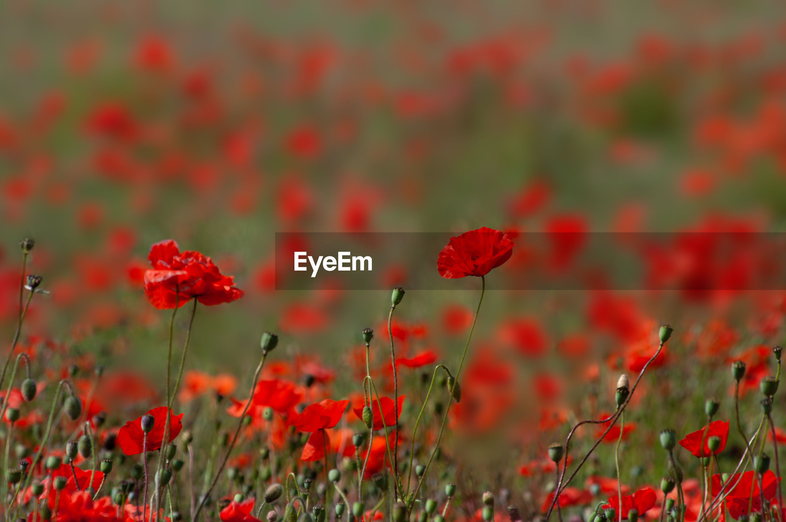 CLOSE-UP OF RED POPPIES ON FIELD