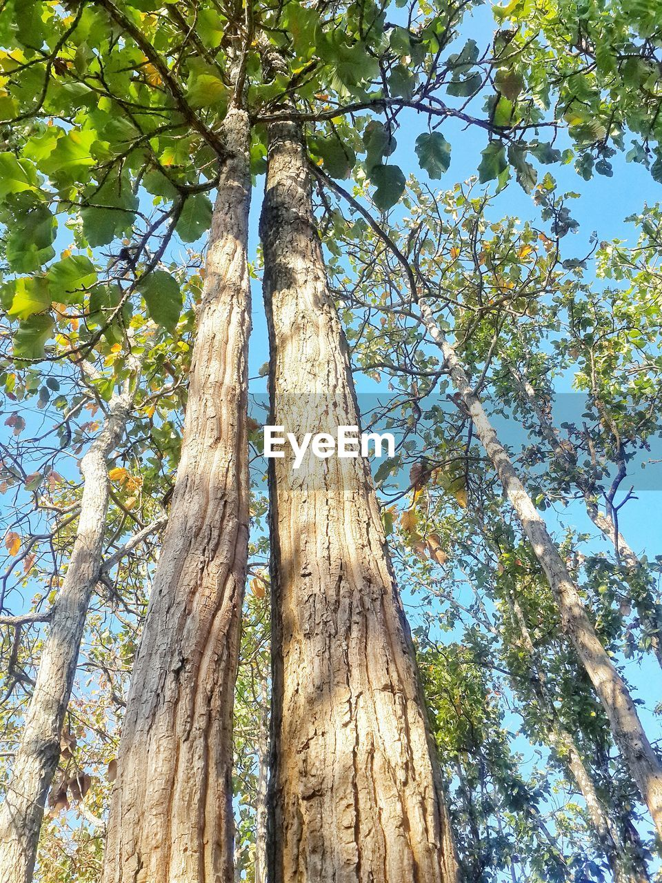 tree, plant, low angle view, trunk, tree trunk, growth, nature, branch, no people, sky, day, beauty in nature, sunlight, tranquility, outdoors, forest, tall - high, green color, land, blue, bark, tree canopy, directly below