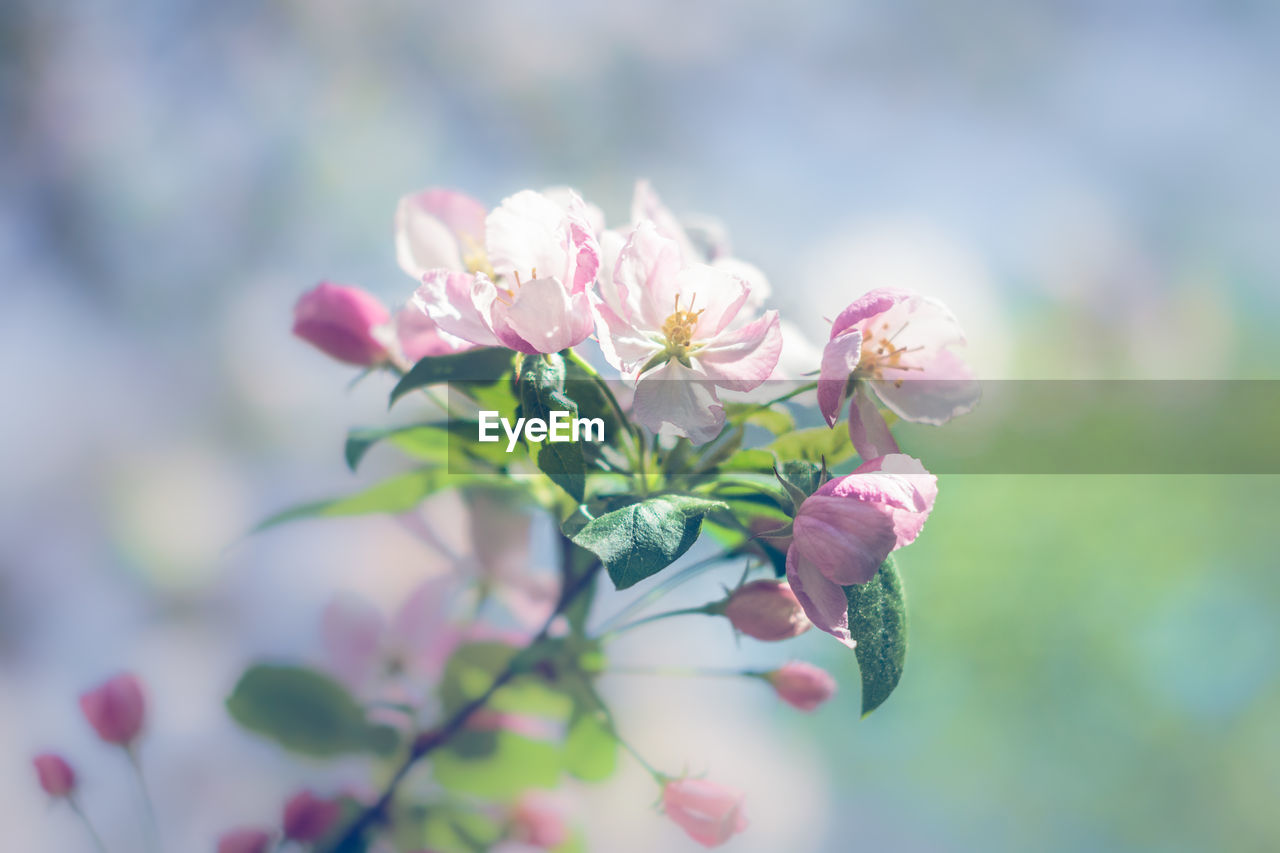 flower, nature, beauty in nature, fragility, pink color, petal, growth, no people, focus on foreground, plant, flower head, outdoors, day, close-up, freshness