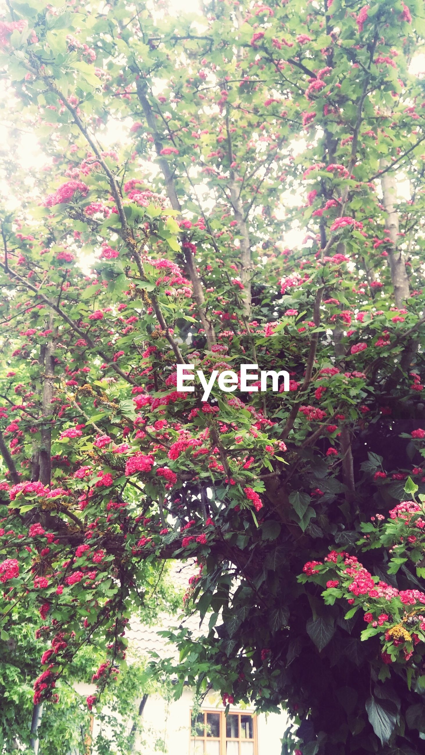 tree, growth, branch, flower, beauty in nature, nature, freshness, low angle view, pink color, blossom, day, leaf, outdoors, tranquility, no people, plant, growing, season, sunlight, in bloom