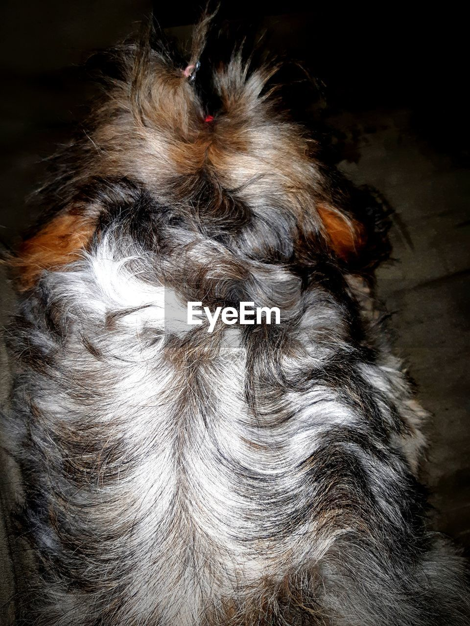 animal themes, one animal, animal, mammal, domestic, domestic animals, pets, animal hair, vertebrate, dog, canine, no people, hair, indoors, animal body part, high angle view, close-up, lap dog, home interior, small, animal head, shih tzu