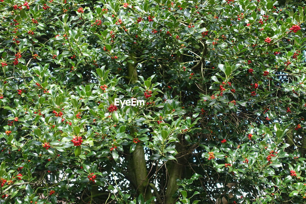 growth, red, fruit, foliage, nature, tree, plant, green color, no people, outdoors, food, beauty in nature, freshness, day