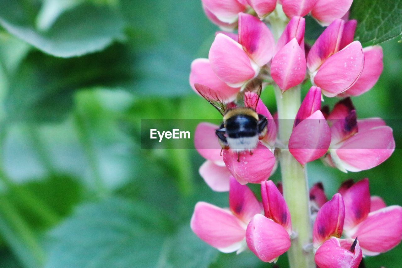 flowering plant, flower, animal themes, petal, one animal, invertebrate, animals in the wild, animal, insect, fragility, plant, freshness, animal wildlife, vulnerability, beauty in nature, bee, flower head, growth, pink color, close-up, pollination, no people, bumblebee, pollen
