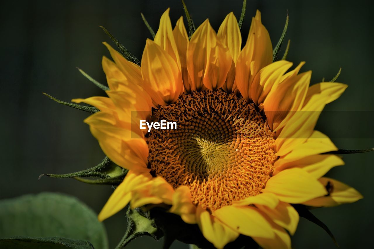 flowering plant, flower, plant, flower head, beauty in nature, petal, inflorescence, freshness, fragility, vulnerability, growth, close-up, yellow, nature, pollen, no people, focus on foreground, selective focus, outdoors, sunflower, gazania, sepal