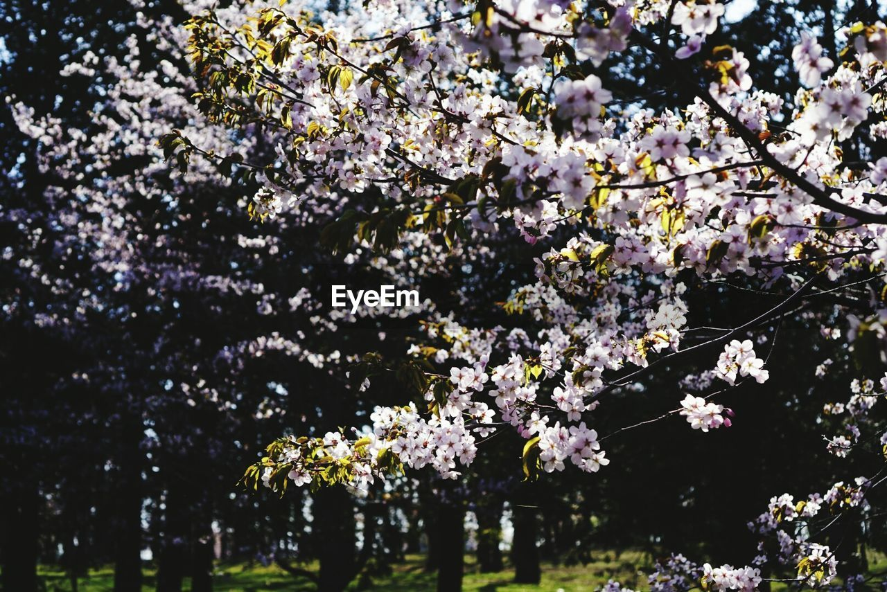 flower, flowering plant, plant, fragility, tree, freshness, growth, beauty in nature, springtime, vulnerability, blossom, branch, nature, cherry blossom, no people, day, botany, cherry tree, outdoors, white color, flower head, spring, bunch of flowers