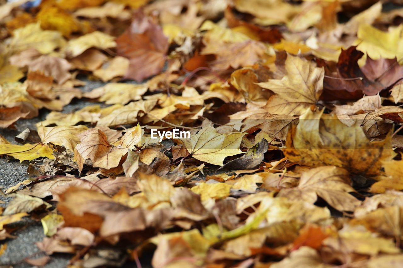 change, autumn, dry, plant part, leaves, leaf, full frame, falling, no people, close-up, backgrounds, day, vulnerability, abundance, nature, fragility, land, selective focus, field, yellow, outdoors, natural condition, maple leaf, fall, autumn collection, dried