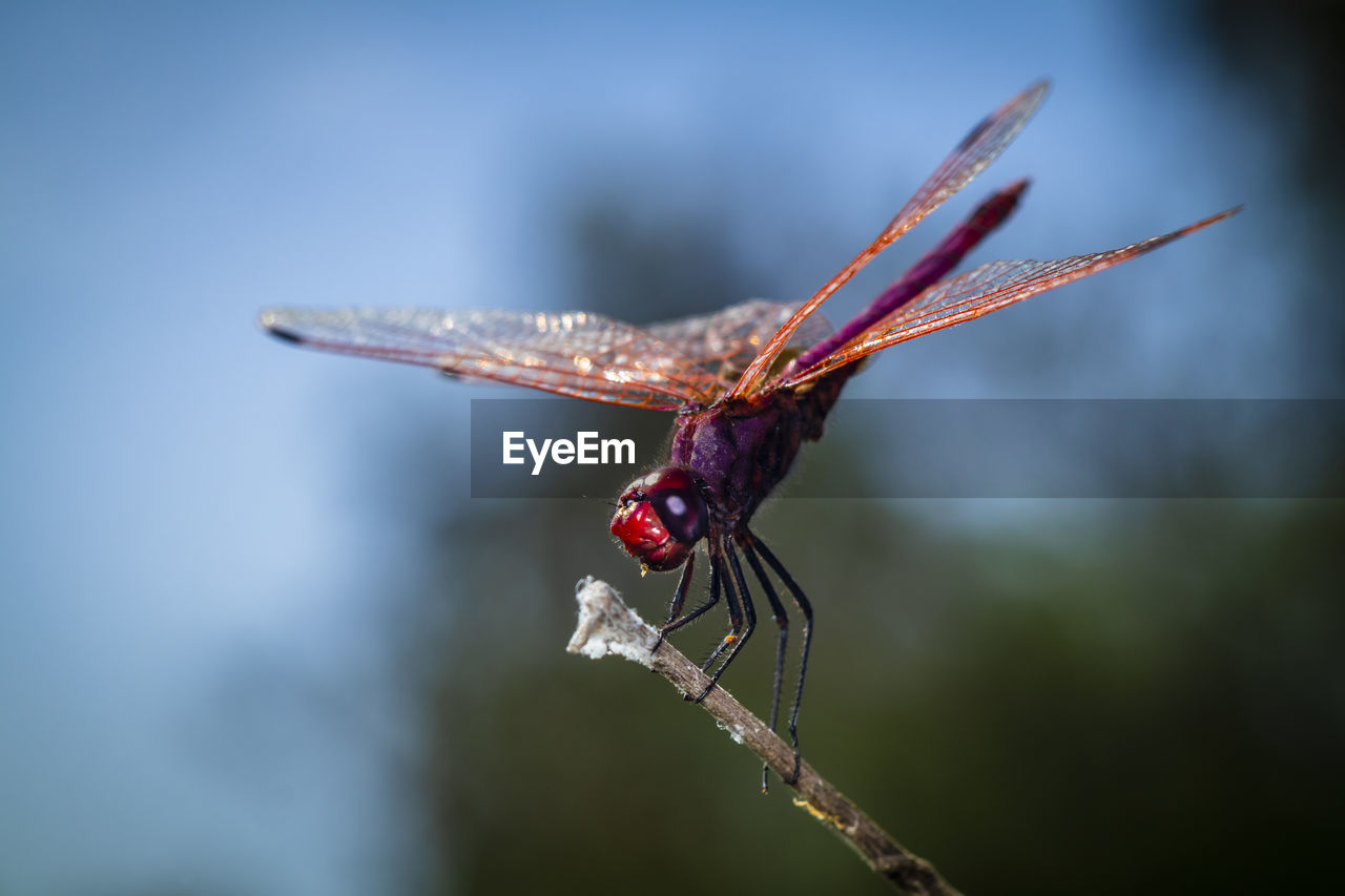 Close-up of a red dragonfly on twig