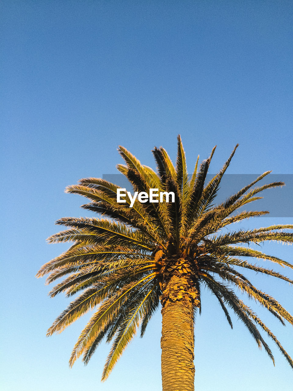 palm tree, clear sky, low angle view, tree, blue, day, outdoors, beauty in nature, nature, no people, sky